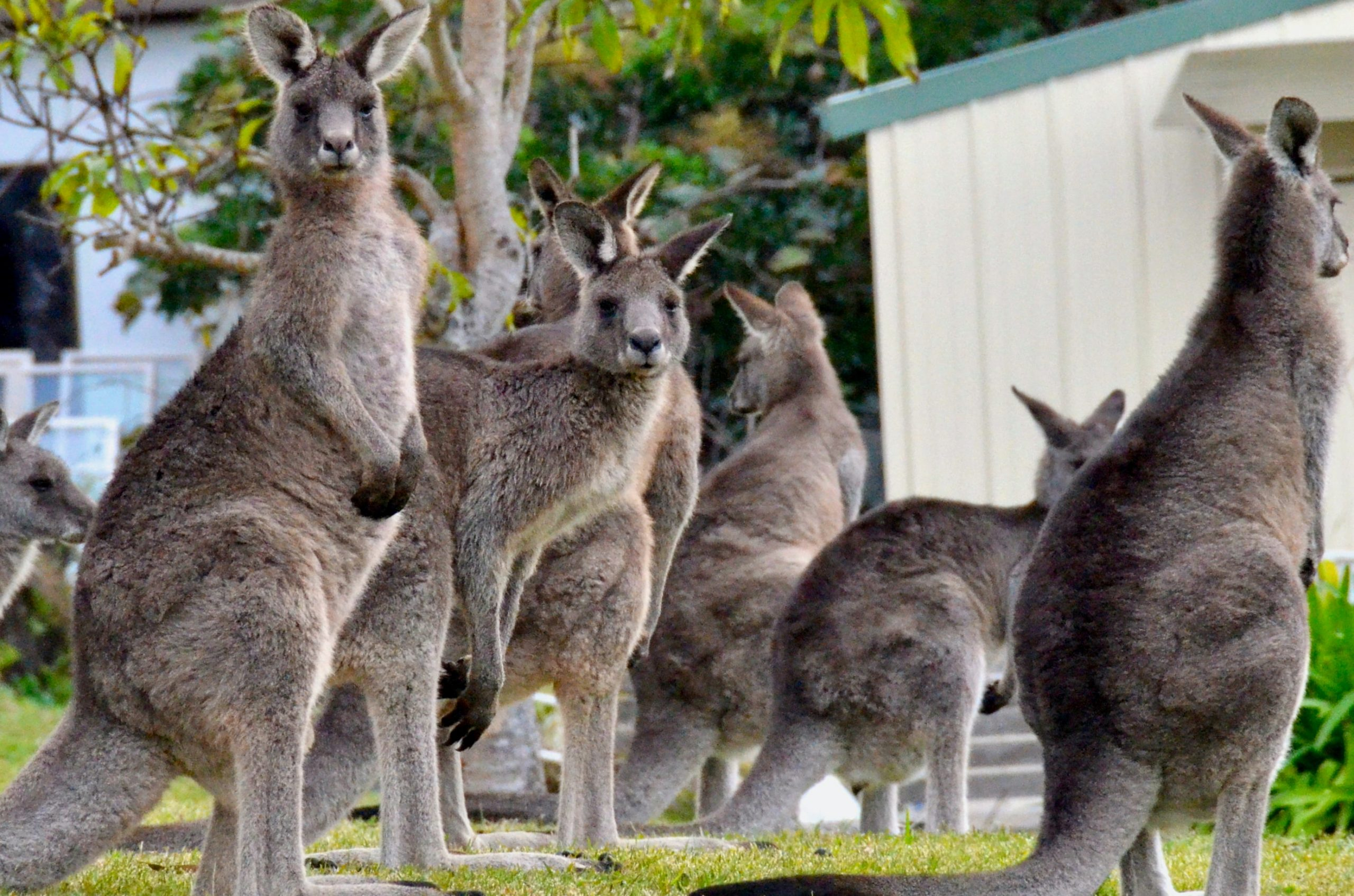 kangaroos-in-sydney-cbd