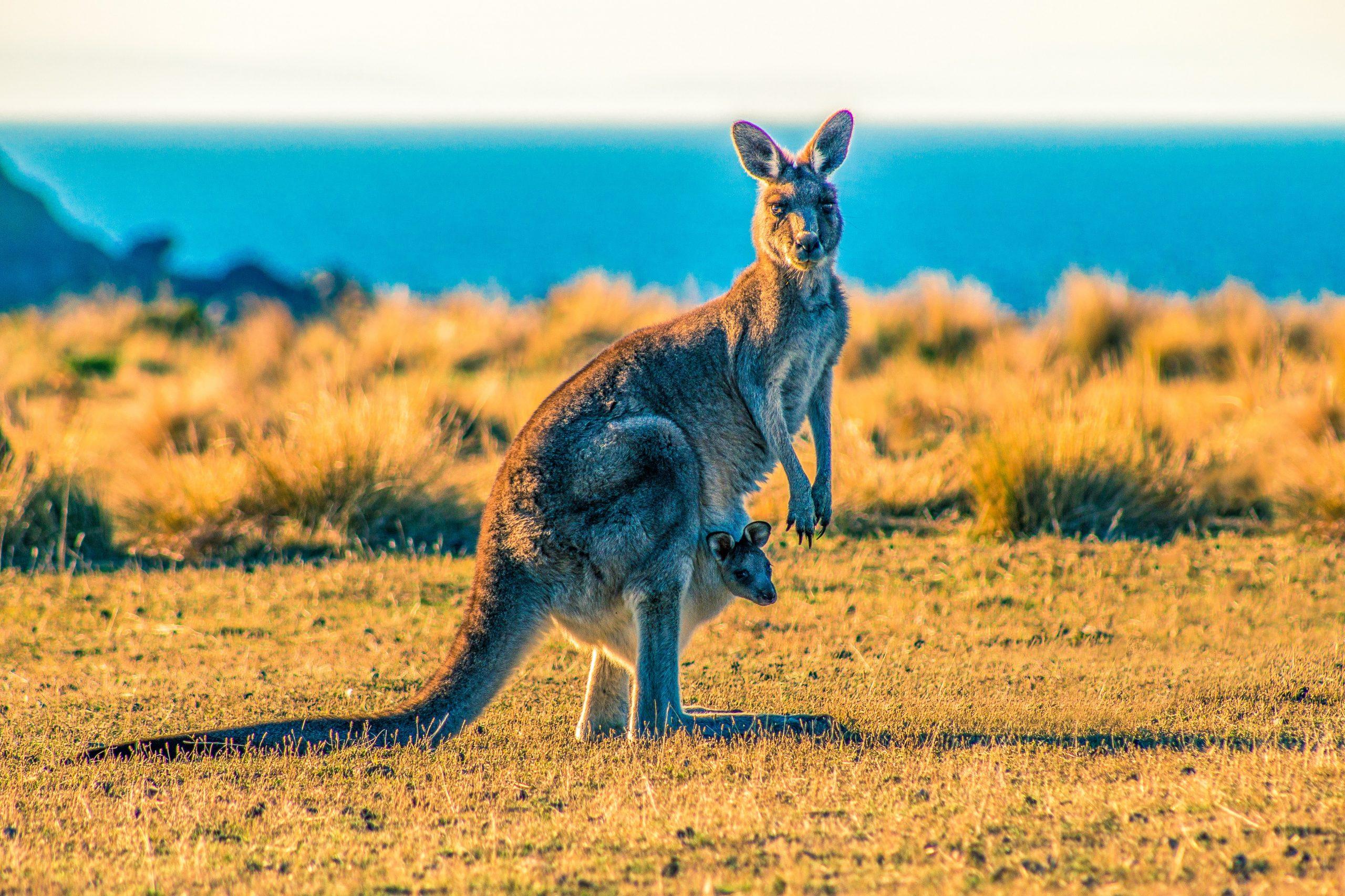 kangaroos-in-sydney