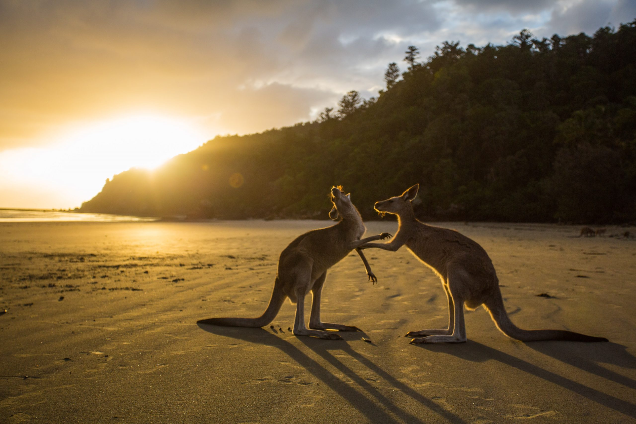 where-to-see-kangaroos-in-sydney.